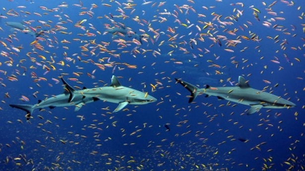 NOAA_sharks_image